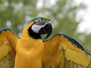 Macaw - 4-3