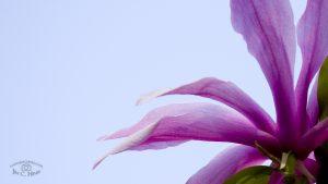 Magnolia Wallpaper - HD