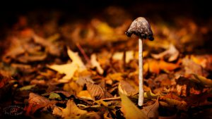 Autumn Mushroom - HD