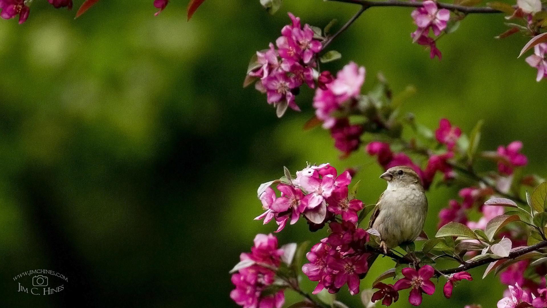 Sparrow Wallpaper HD