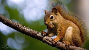 Squirrel Wallpaper - HD