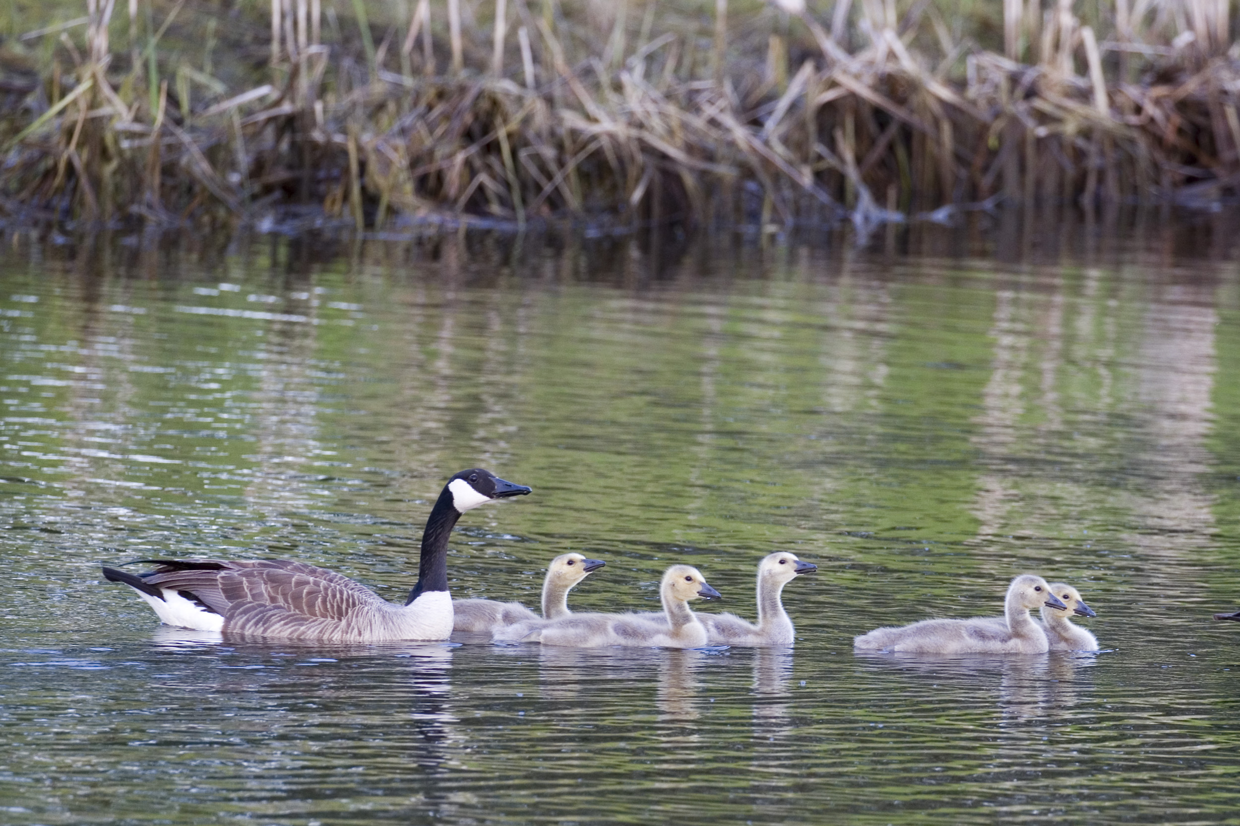 Goose Family 4
